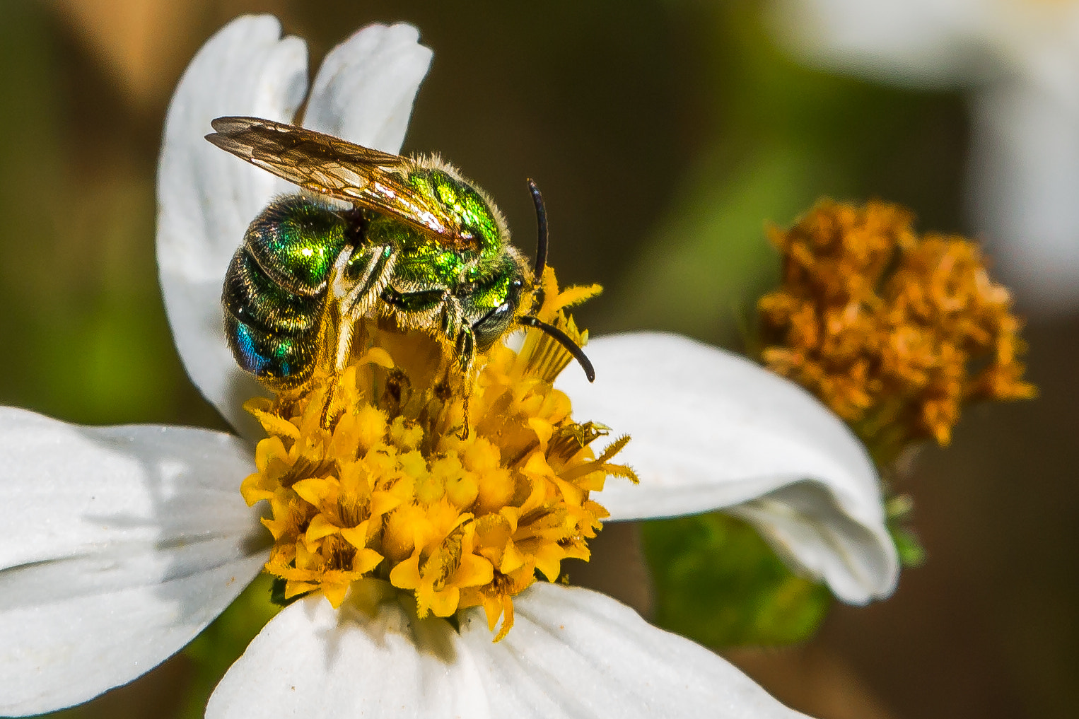 Photograph Iridescent Geen Bee by George Bloise on 500px