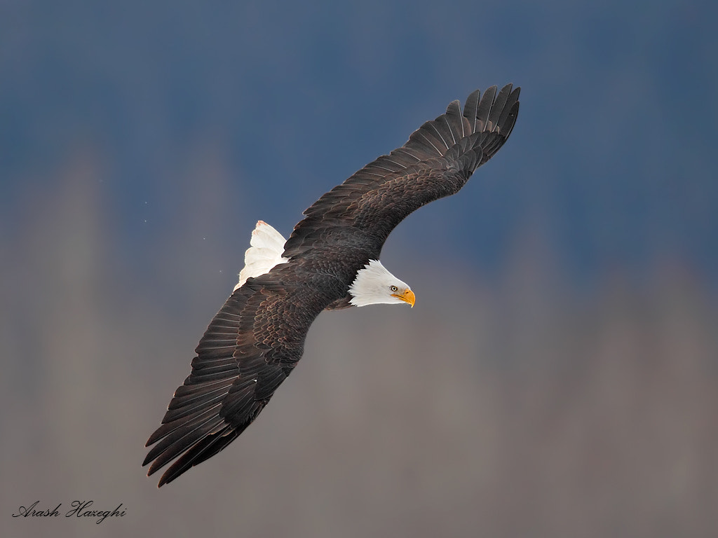 Photograph Bald eagle topside view by Ari Hazeghi on 500px