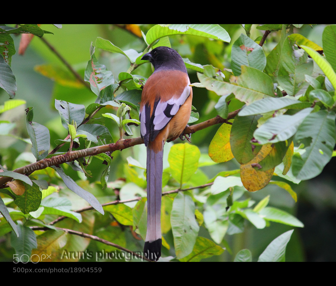 Photograph Indian Treepie by Arun P. Nair on 500px