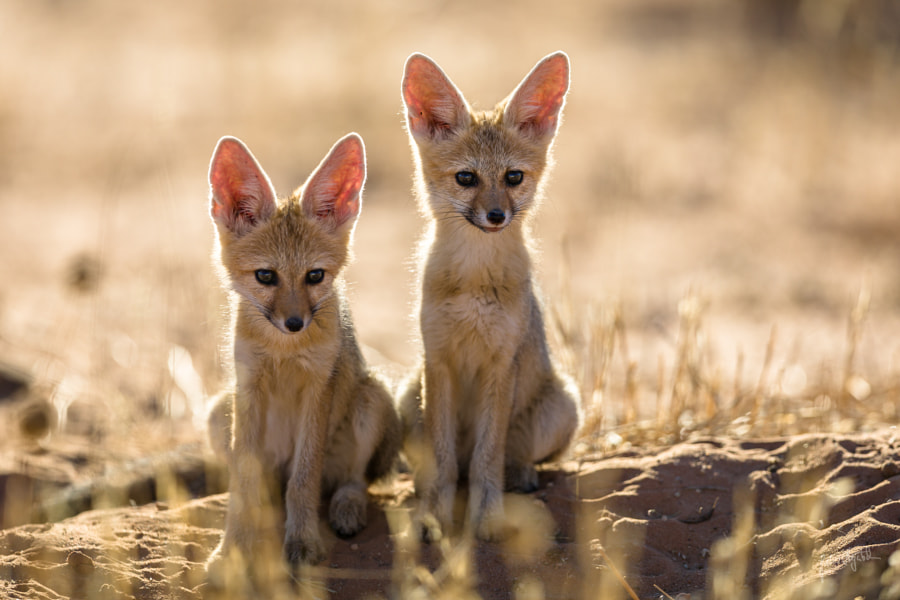 Capefox Kids by Peter Negatsch on 500px.com