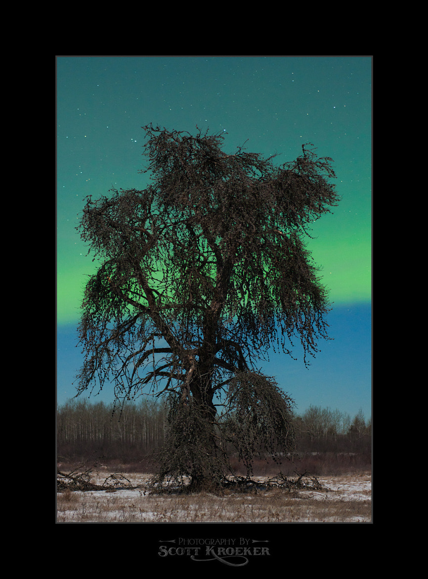 Photograph Aurora Tree by Scott Kroeker on 500px