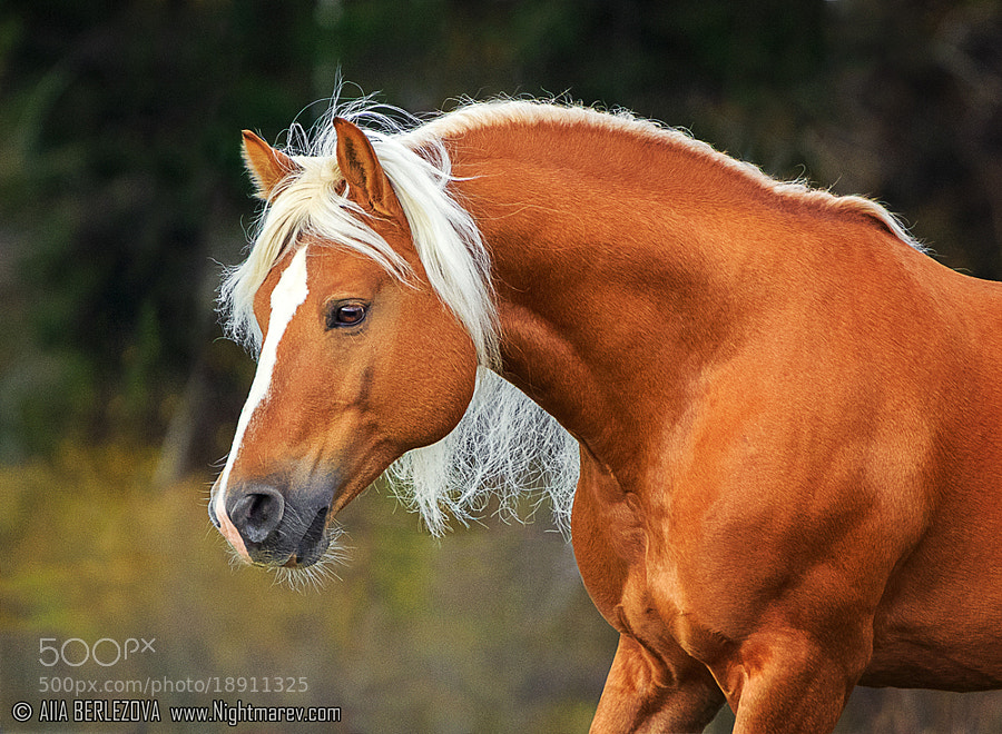 Antares, Blond Stallion, by Alla Berlezova