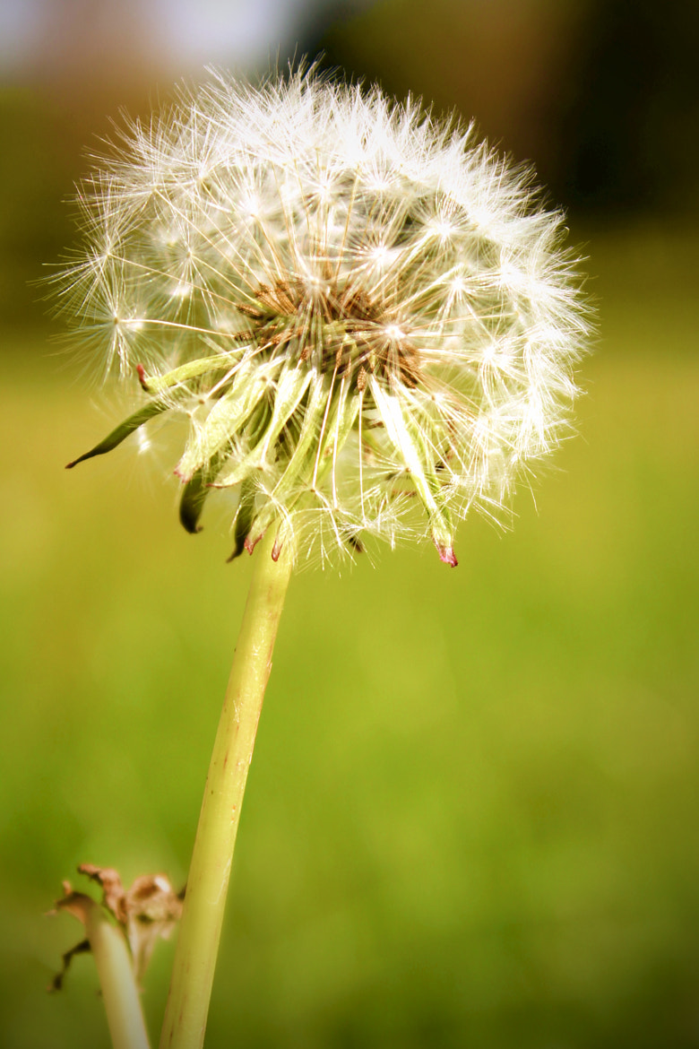 Photograph Dandelion by Marlon Jay Manuel on 500px