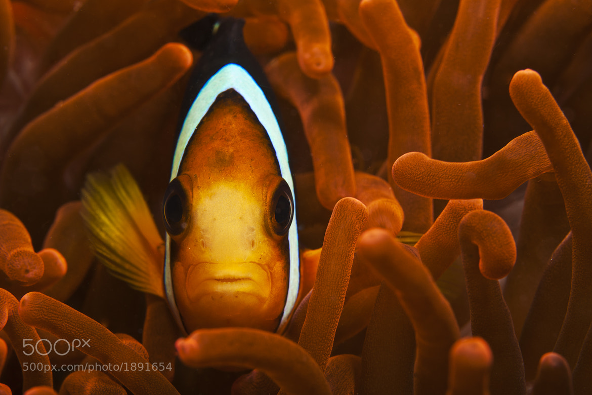 Photograph Anemonefish by Oleynikova Olga on 500px