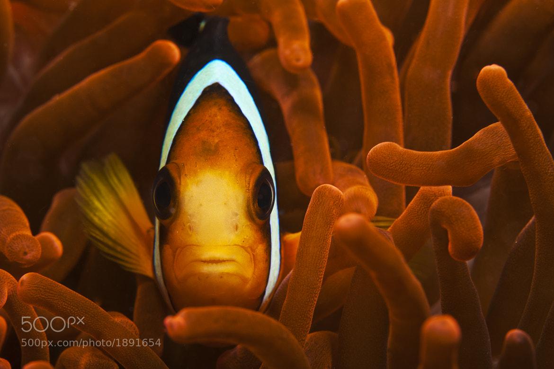 Photograph Anemonefish by Oleynikova Olga on 500px