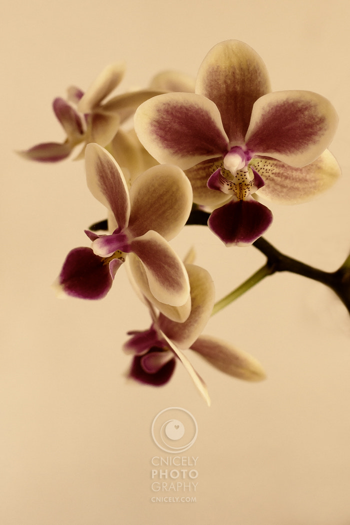 Photograph Phalenopsis by Christiane Nicely on 500px