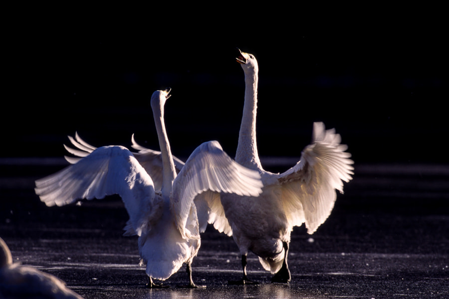 Photograph Swans by Kazuo Shinohara on 500px