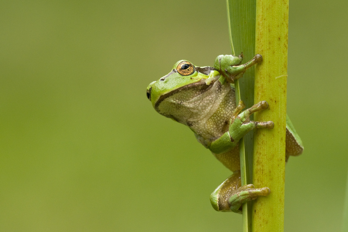 Photograph common tree frog by Wiel Arets on 500px