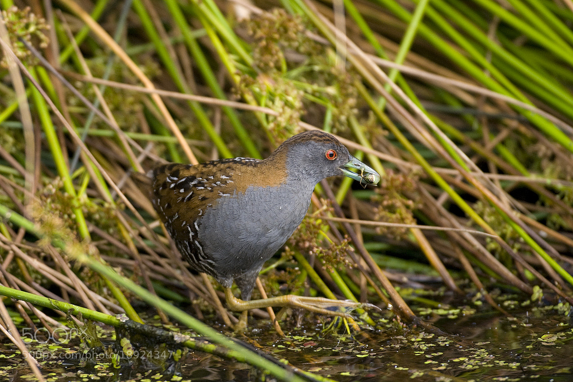 Photograph Baillon's Crake by Wiel Arets on 500px