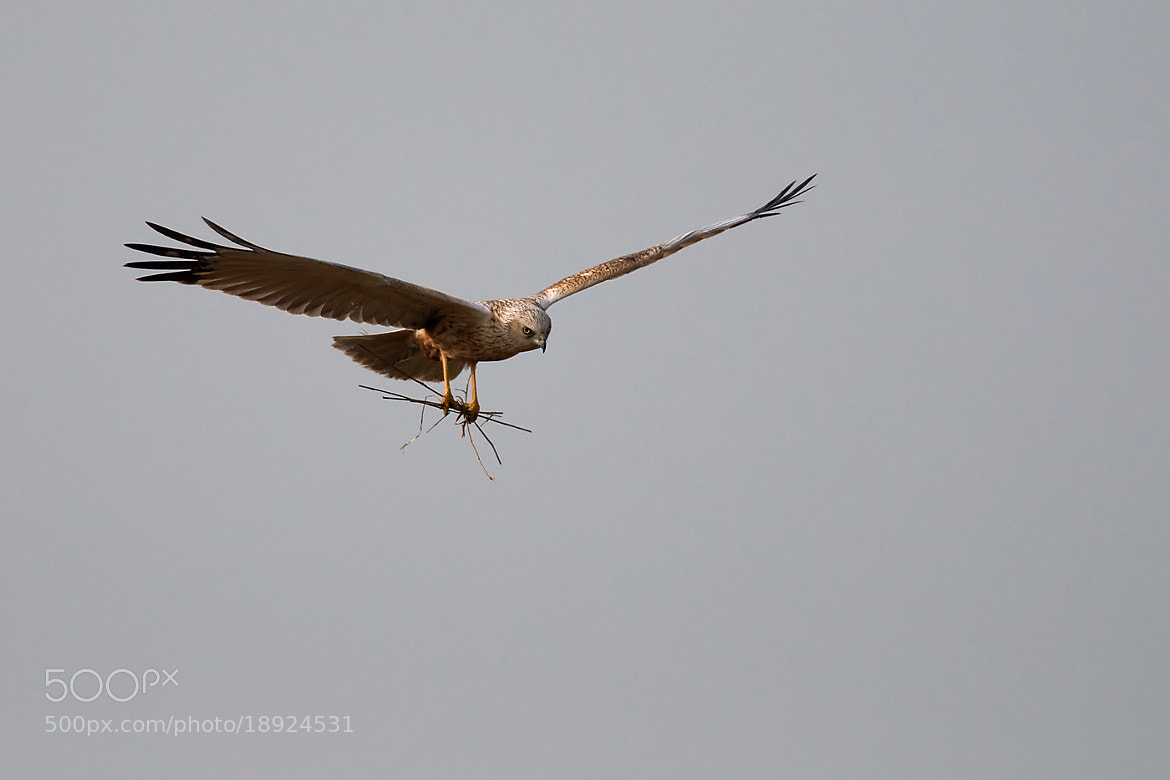 Photograph Marsh Harrier by Wiel Arets on 500px