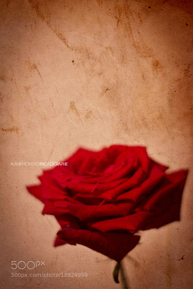 Photograph Rose by Alanie Moments on 500px