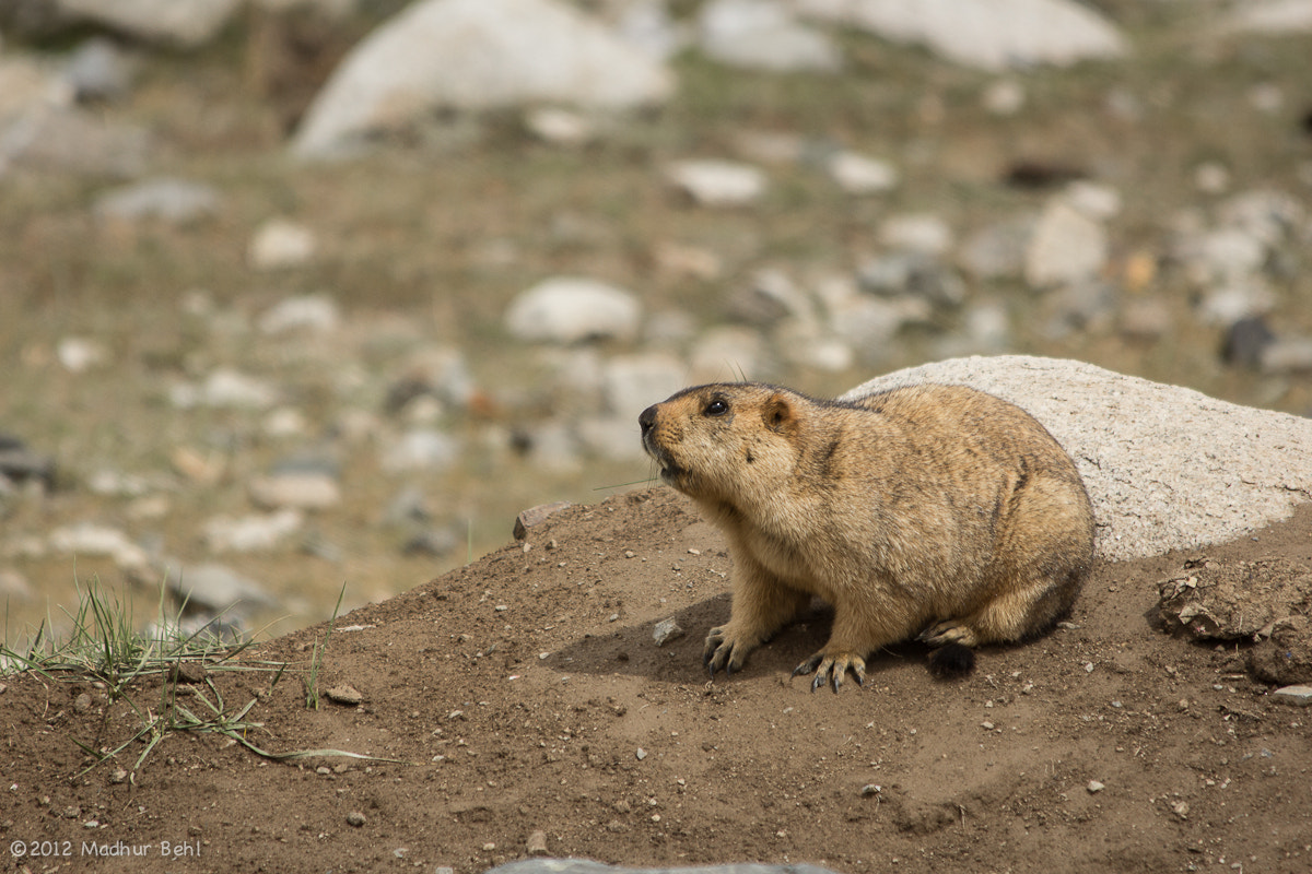 Photograph Himalayan Marmot by Madhur Behl on 500px