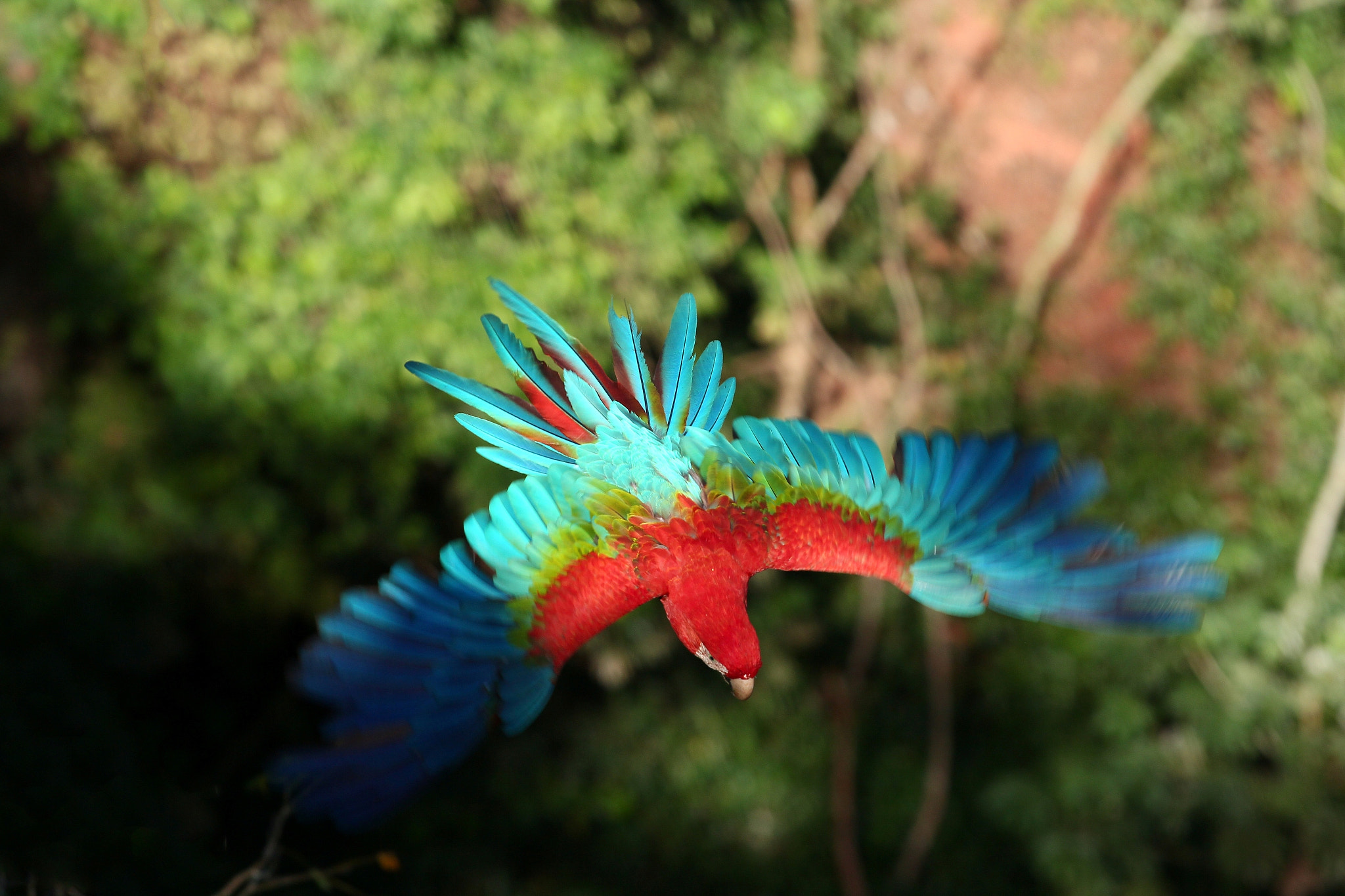 Photograph Red-and-green Macaw III by Itamar Campos on 500px