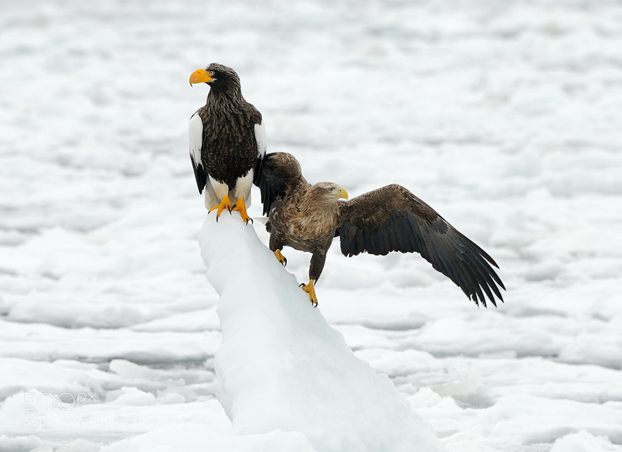 In perfect harmony, besides a few smaller arguments now and again, these two species, White-tailed and Stellers Sea Eagles, do live together in wintertime on the floating ice  at the Sea of Okhotsk near the coast of Rausu in the North-Eastern part of Hokkaido, Japan.