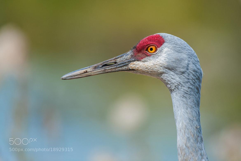 Photograph Portrait of a crane by Vincent de Jong on 500px