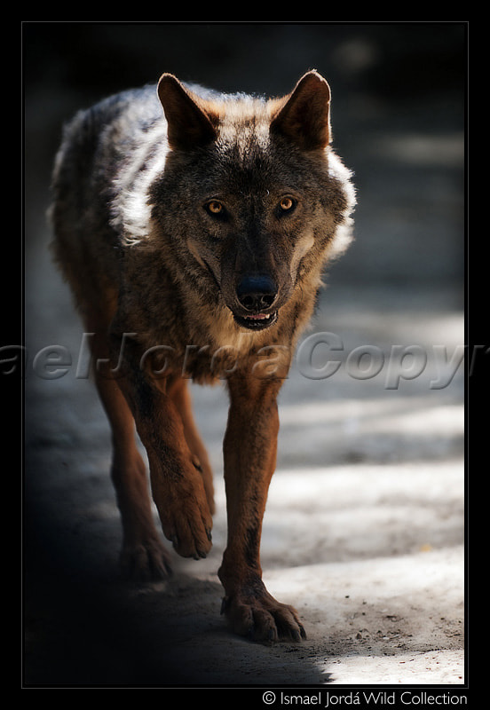 Photograph Wolf (2011) by Ismael Jordá on 500px