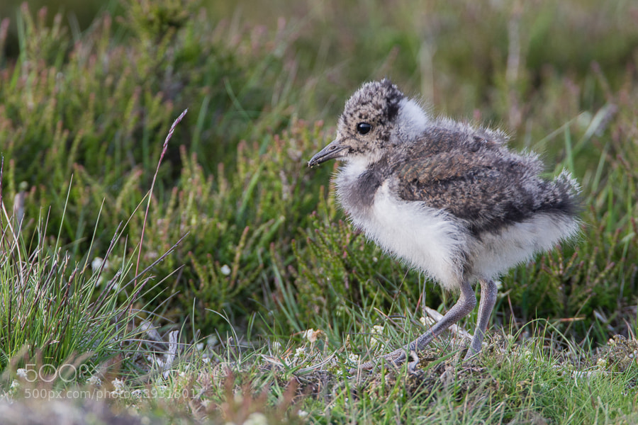 Photograph Lapwing chick by Richard Chapman on 500px