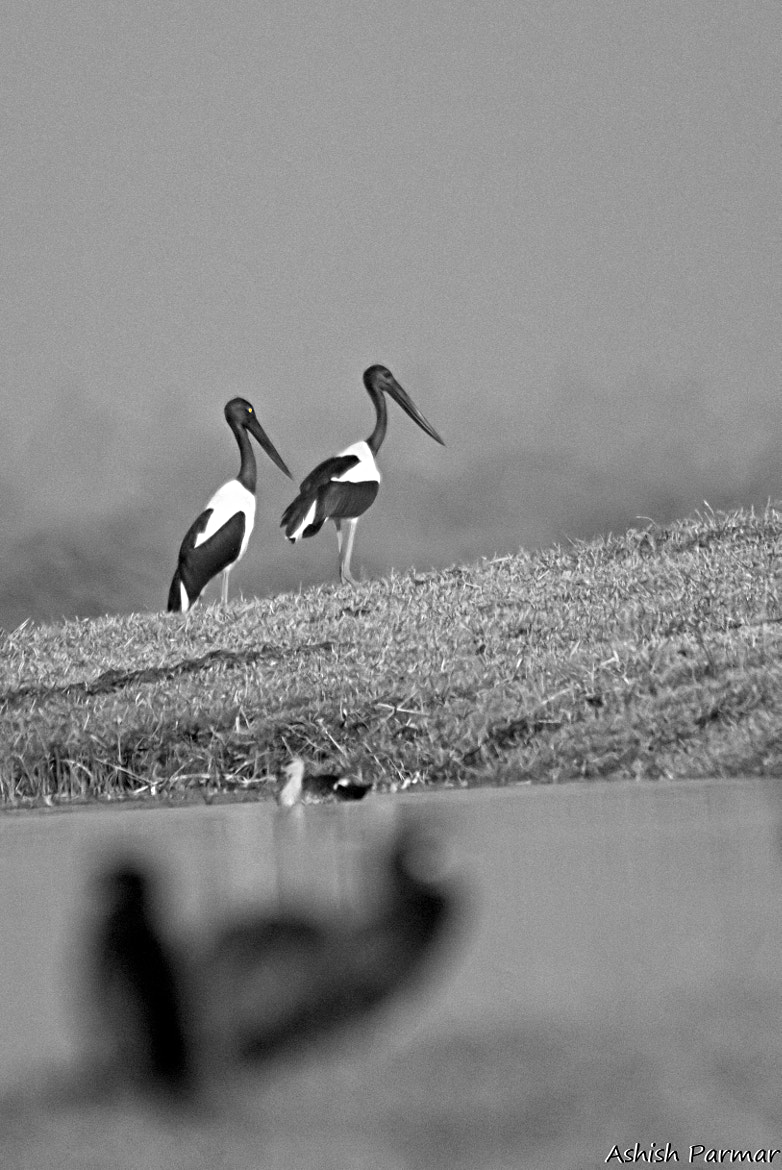 Photograph Black Necked Stork by Ashish Parmar on 500px