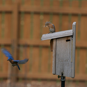 Bluebirds' New Home by Mark Jones (markjonesmt)) on 500px.com