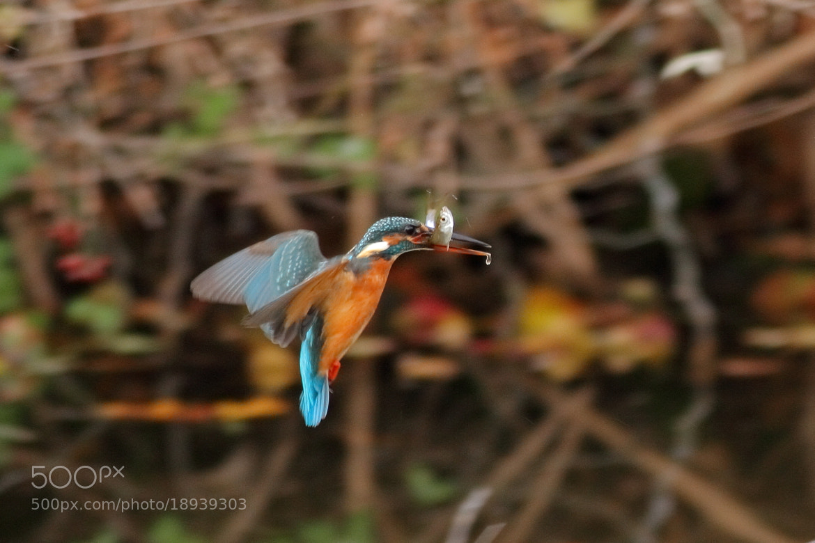 Photograph Kingfisher 23 by Yellow Monkey on 500px