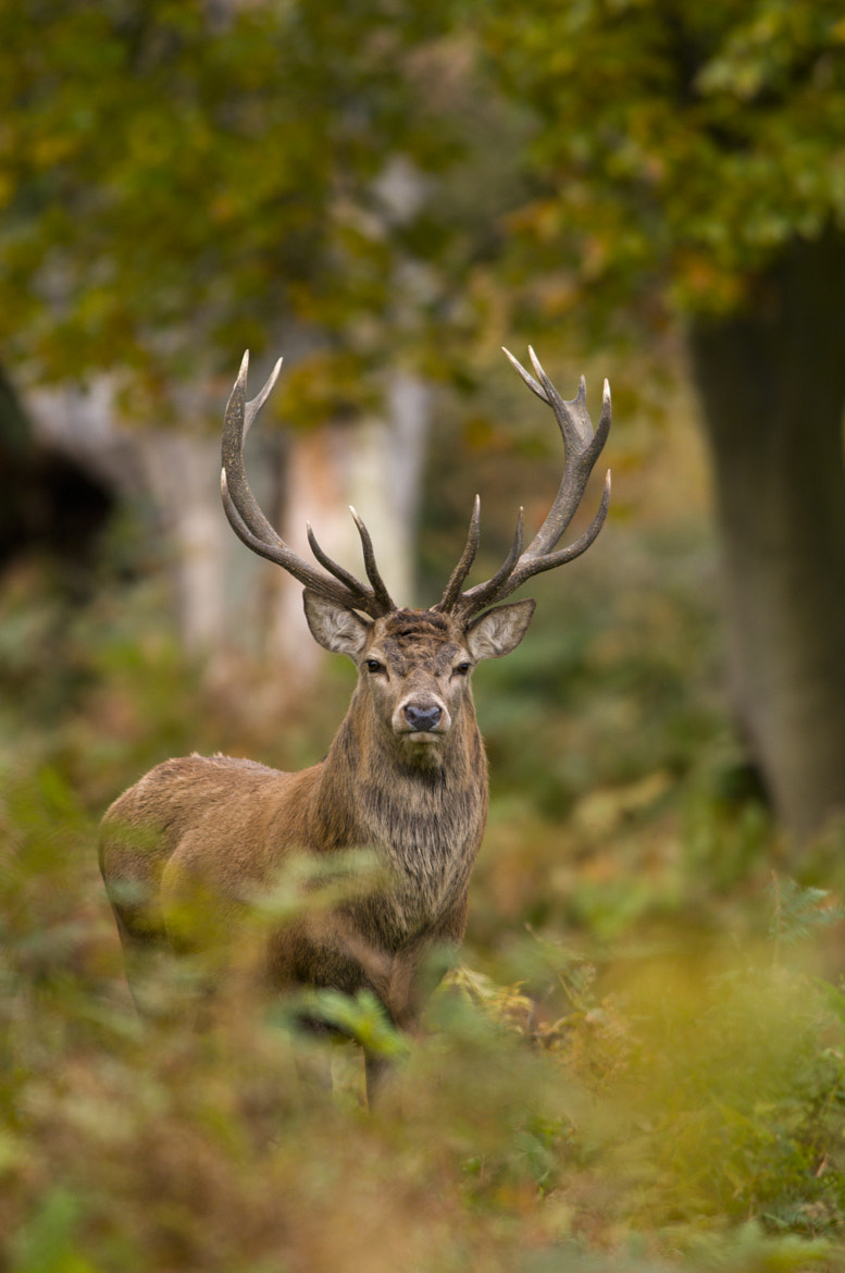 Photograph Red Deer stare by Ben Gardner on 500px