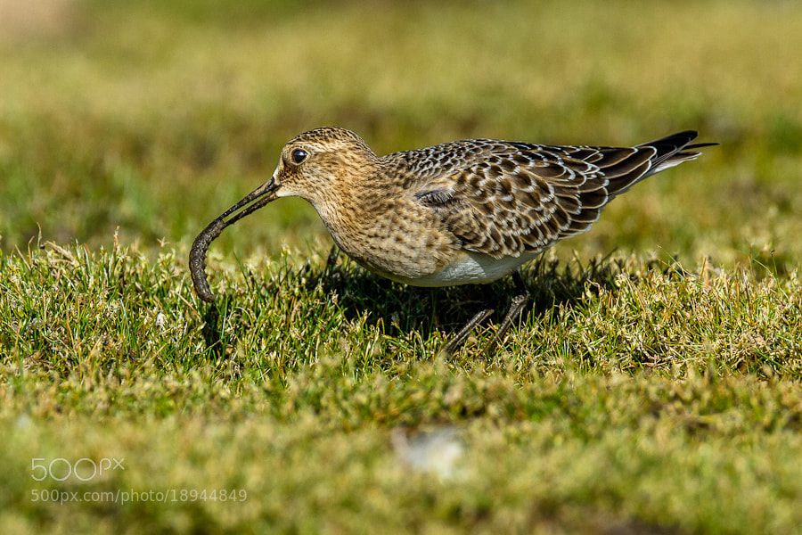 Photograph .: Sandpiper Grubbing :. by Jon Rista on 500px