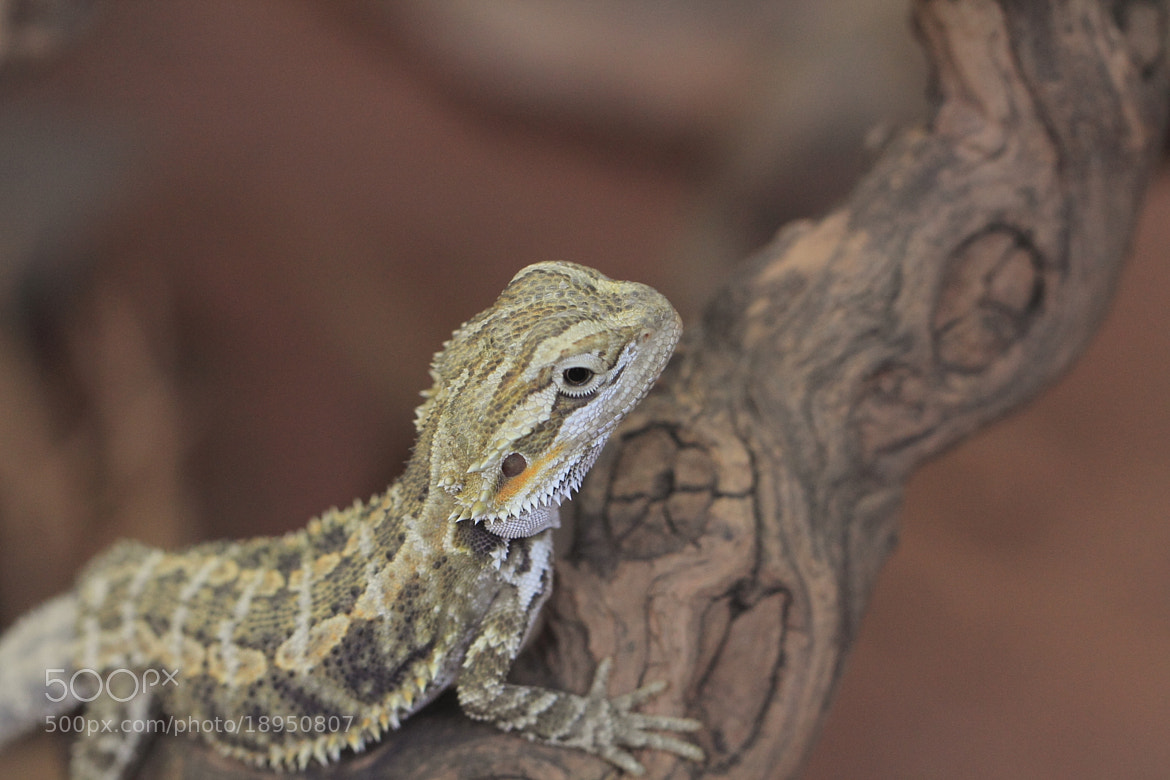 Photograph Bearded dragon by Eva Lechner on 500px