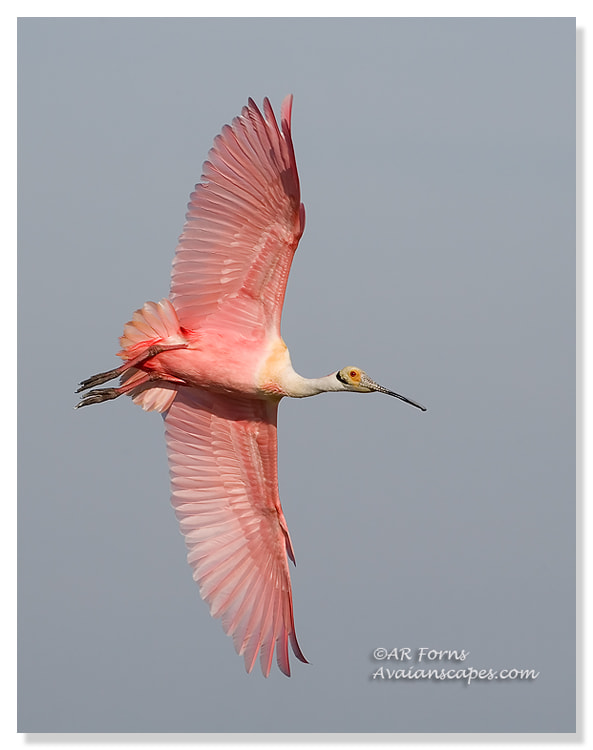 Photograph Roseate Spoonbill  by Alfred Forns on 500px
