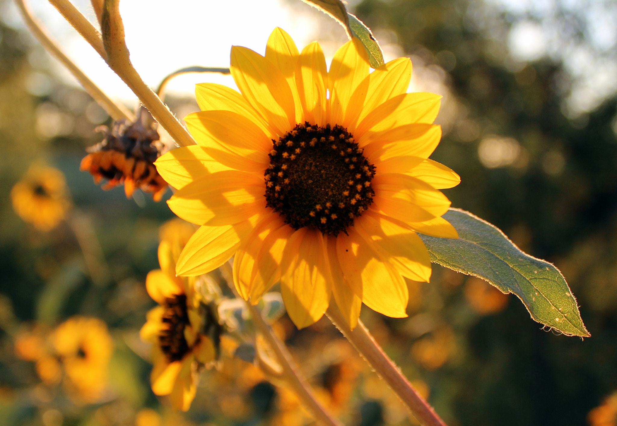 Photograph Sunflower Shadows by Leigh Taylor on 500px