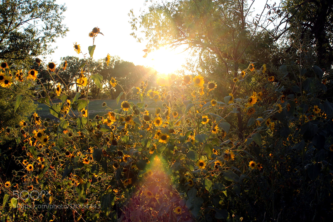 Photograph Sunflowers at Sunset by Leigh Taylor on 500px