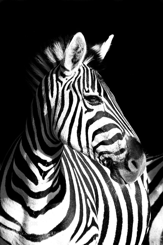 Photograph Zebra by Rudi Hulshof on 500px