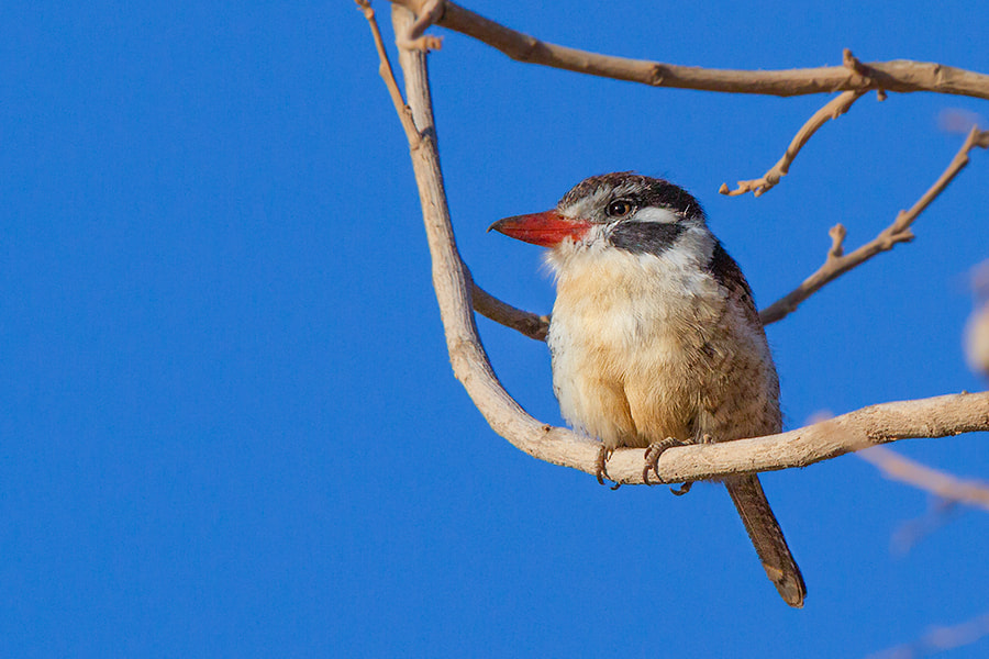 Photograph White-eared Puffbird by André Luiz Silva on 500px