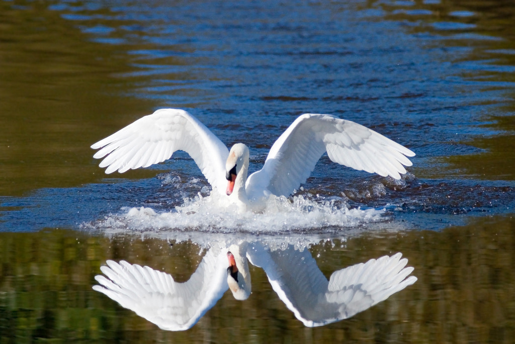 Photograph Mute Swan landing by Phil Armishaw on 500px