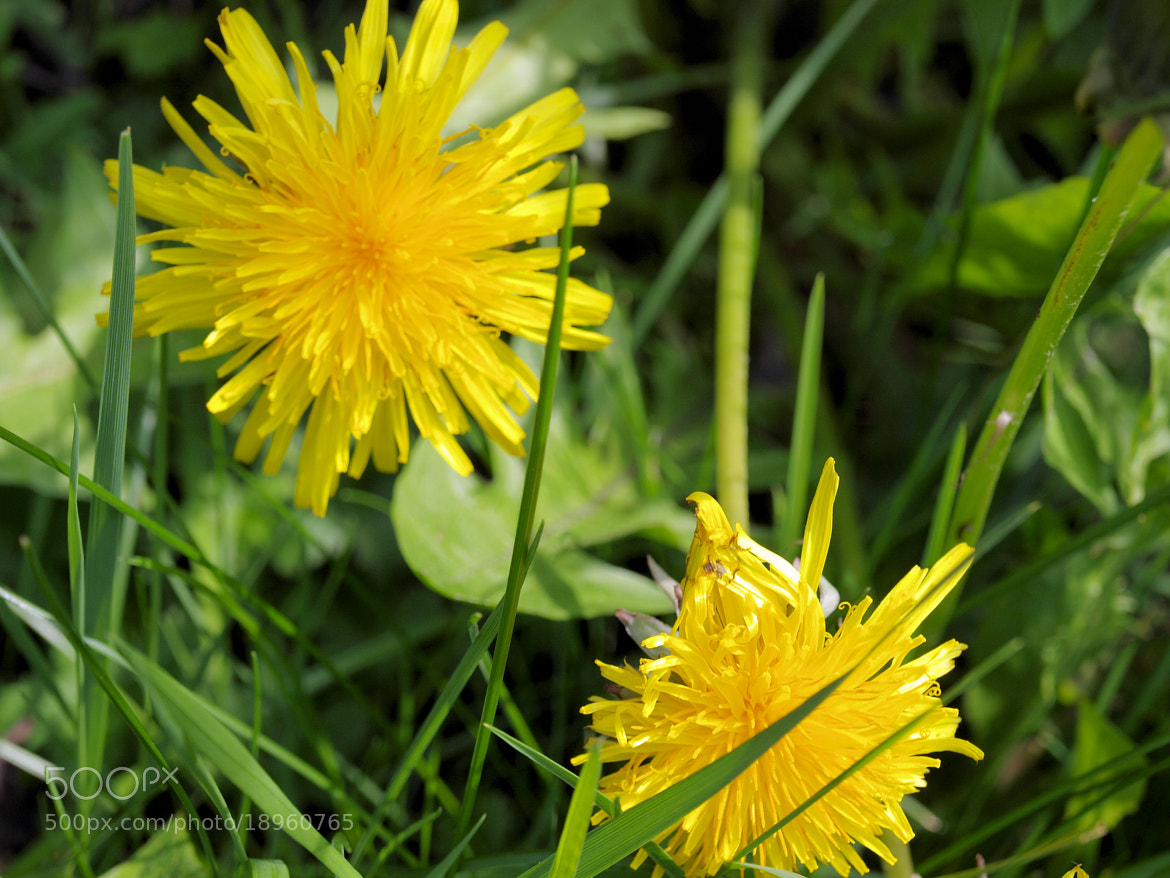 Photograph Dandelions by Andy  McCreddie on 500px