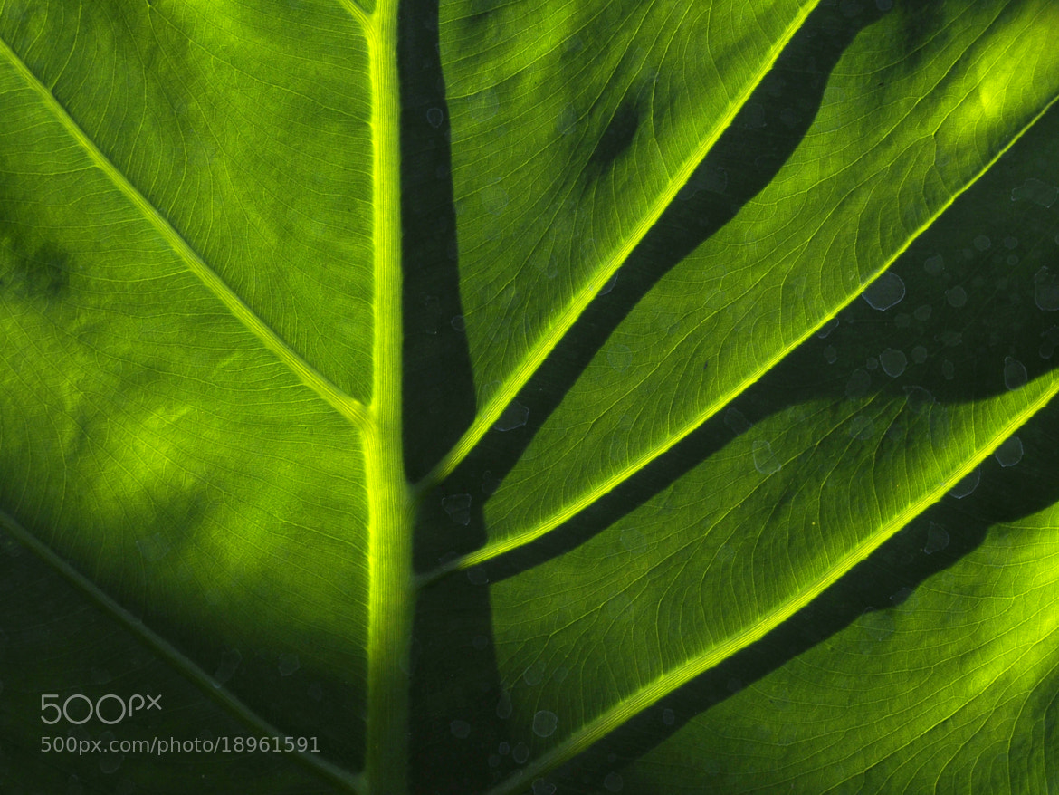 Photograph Big leaf by Pichet Chantaratawornpong on 500px