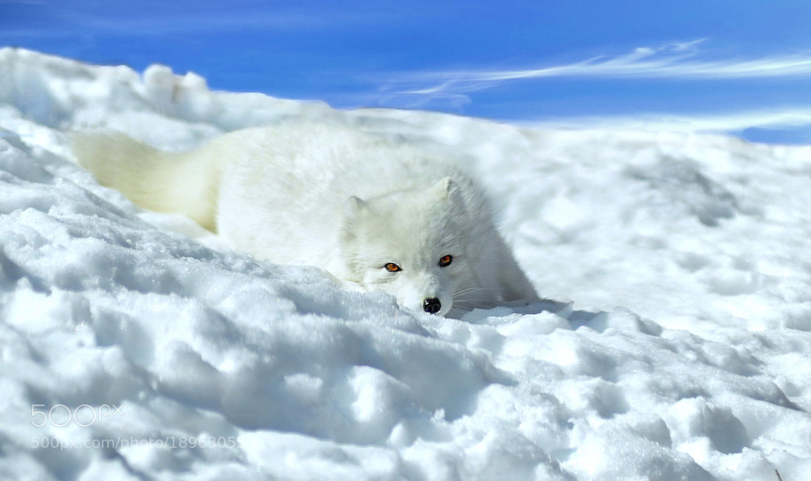 Photograph Artic fox. by Ron Cramer on 500px