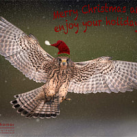 Christmas Kestrel !