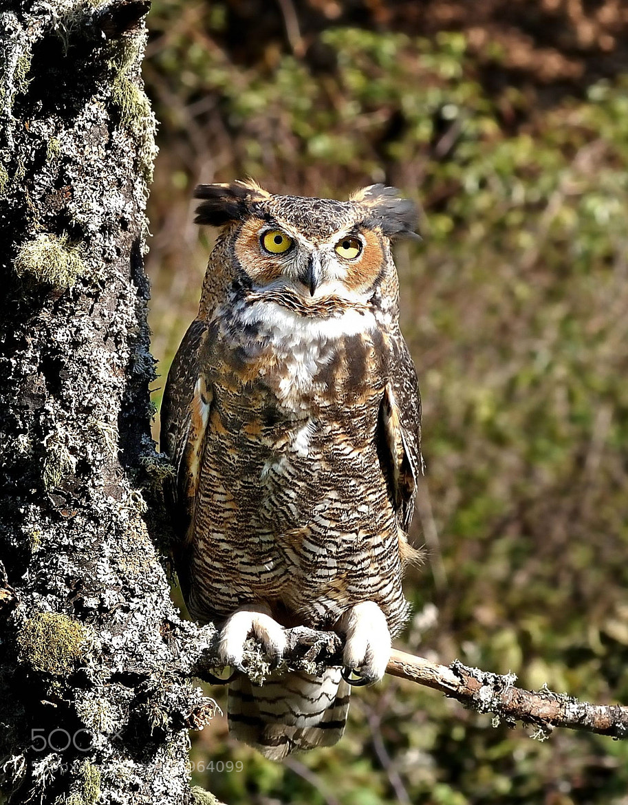 Photograph Another owl by Ron Cramer on 500px