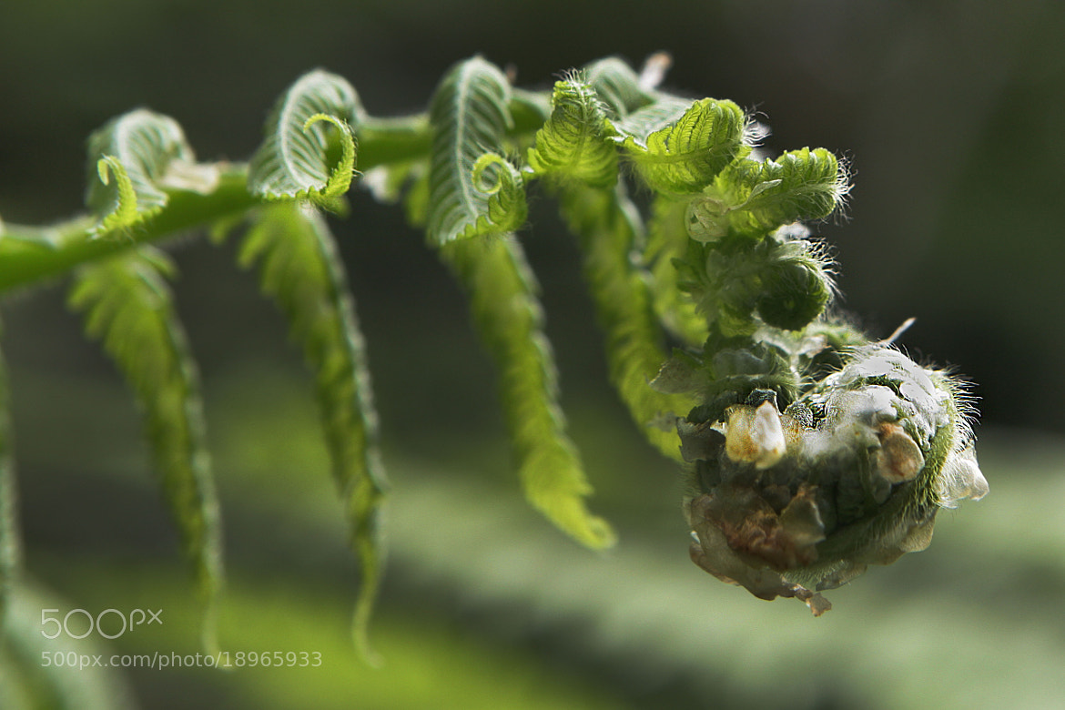 Photograph Fern Opening by Cristobal Garciaferro Rubio on 500px
