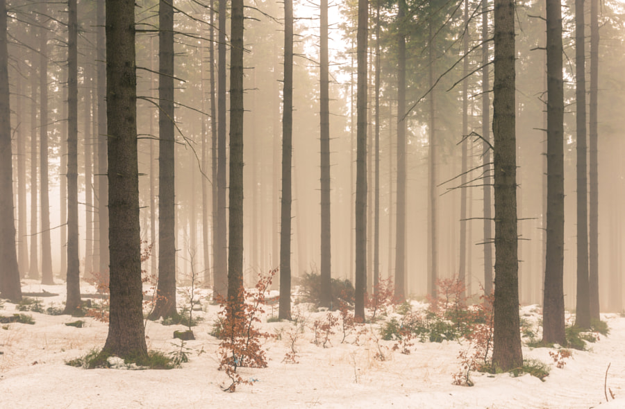 Forest in Silesian Mountains