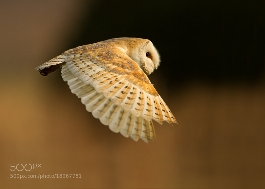 Photograph Barn Owl in Flight by Giedrius Stakauskas on 500px