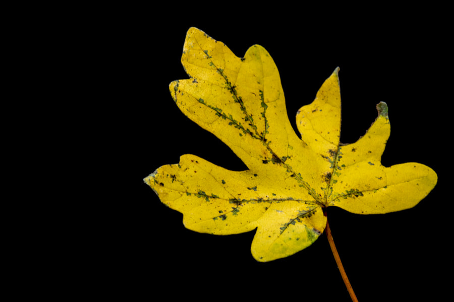 Photograph autumn leaf by marleen aerts on 500px