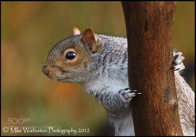 Photograph Autumn Squirrel by Mike Warburton on 500px