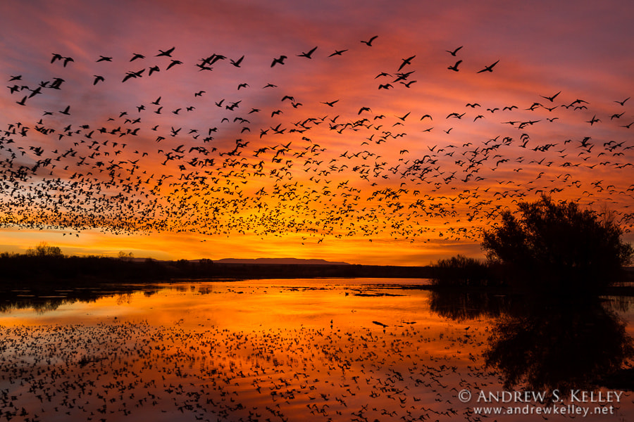 Photograph Snow Geese at Dawn by Andrew Kelley on 500px