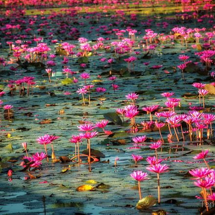 sanctuary of lotus at Wat Sa Si, Sukhothai