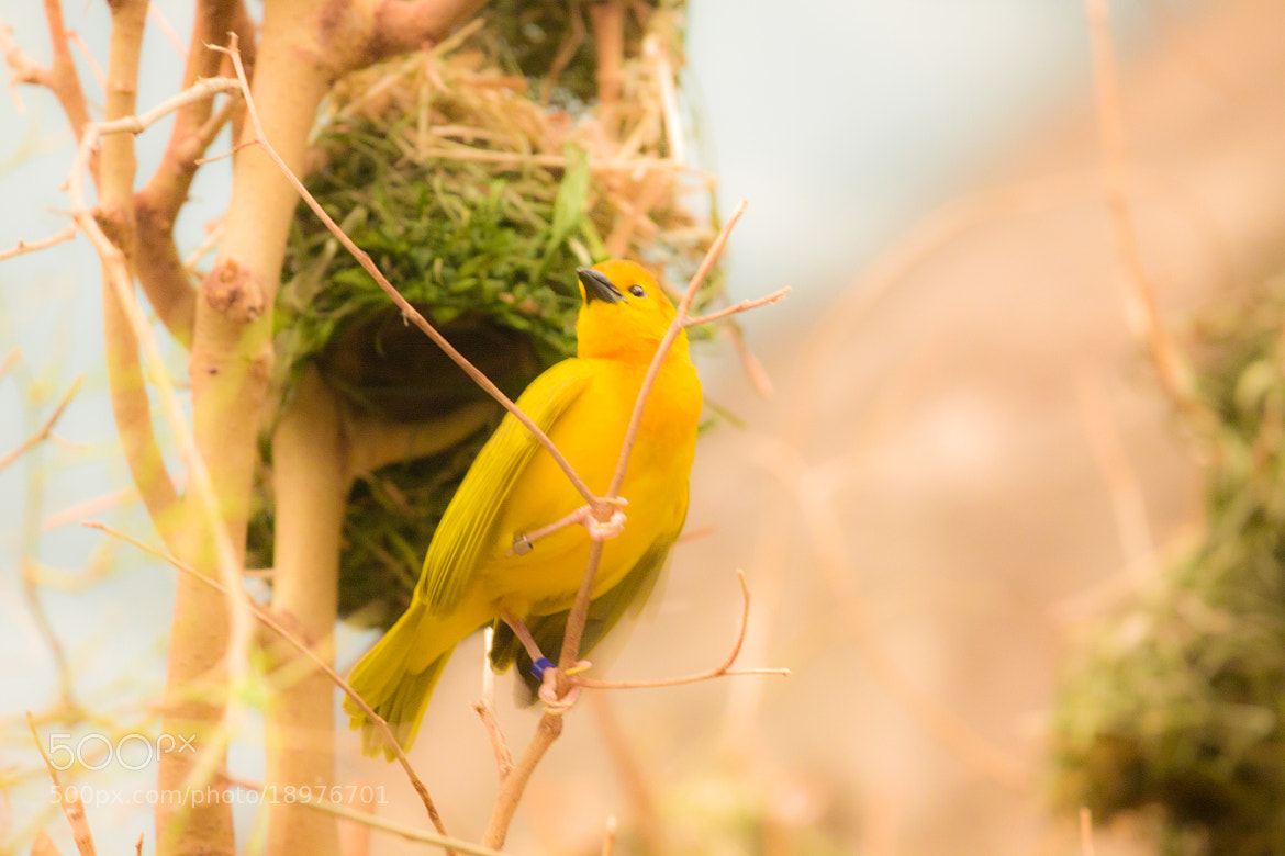 Photograph yellow bird looking out by Tony Pham on 500px