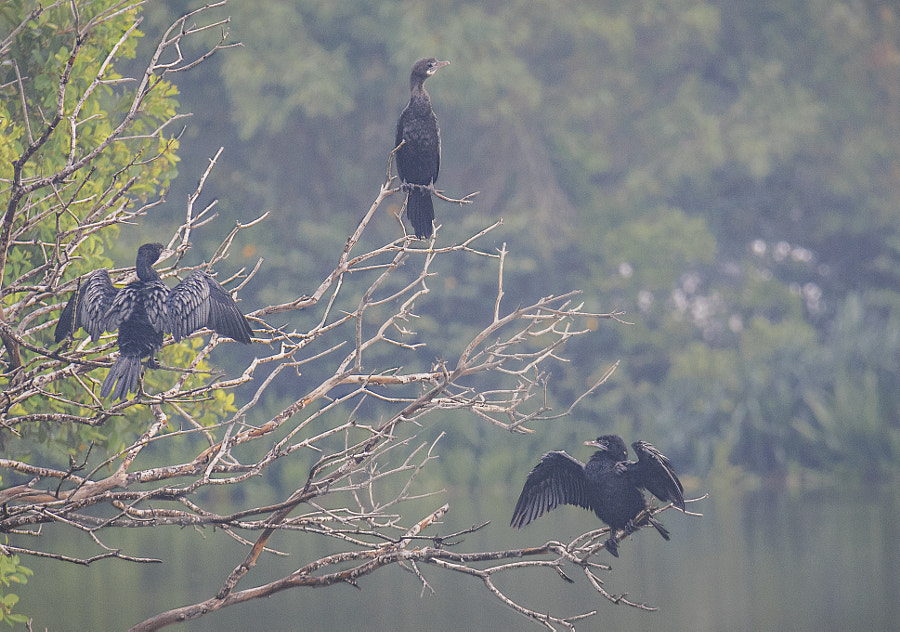 Little Cormorants, Diyawanna Oya, Sri Lanka by Son of the Morning Light on 500px.com