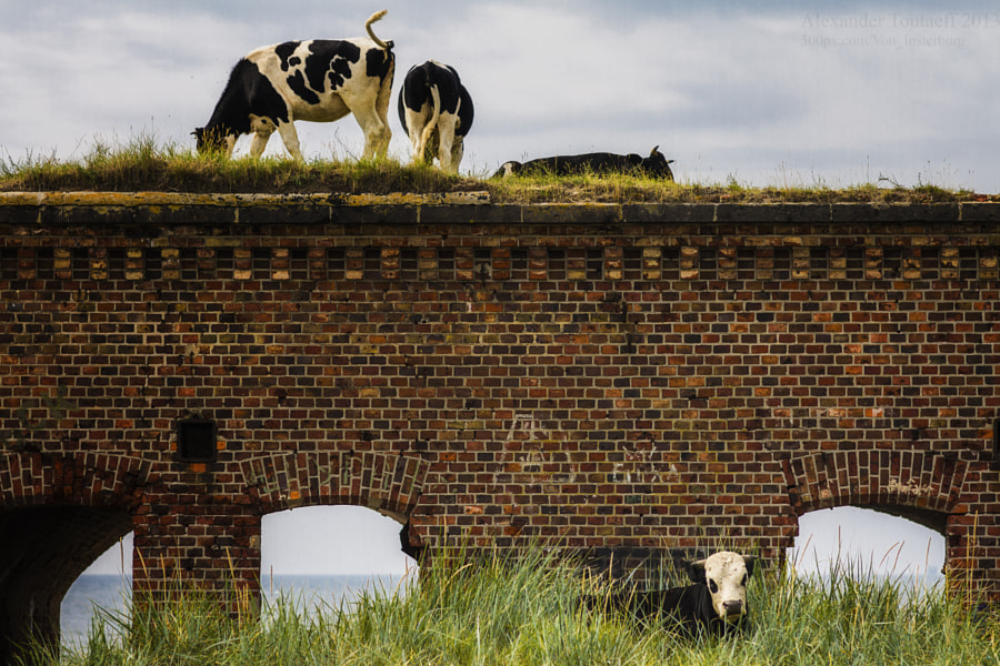 Baltic cows II, автор — Alex Toutaeff на 500px.com