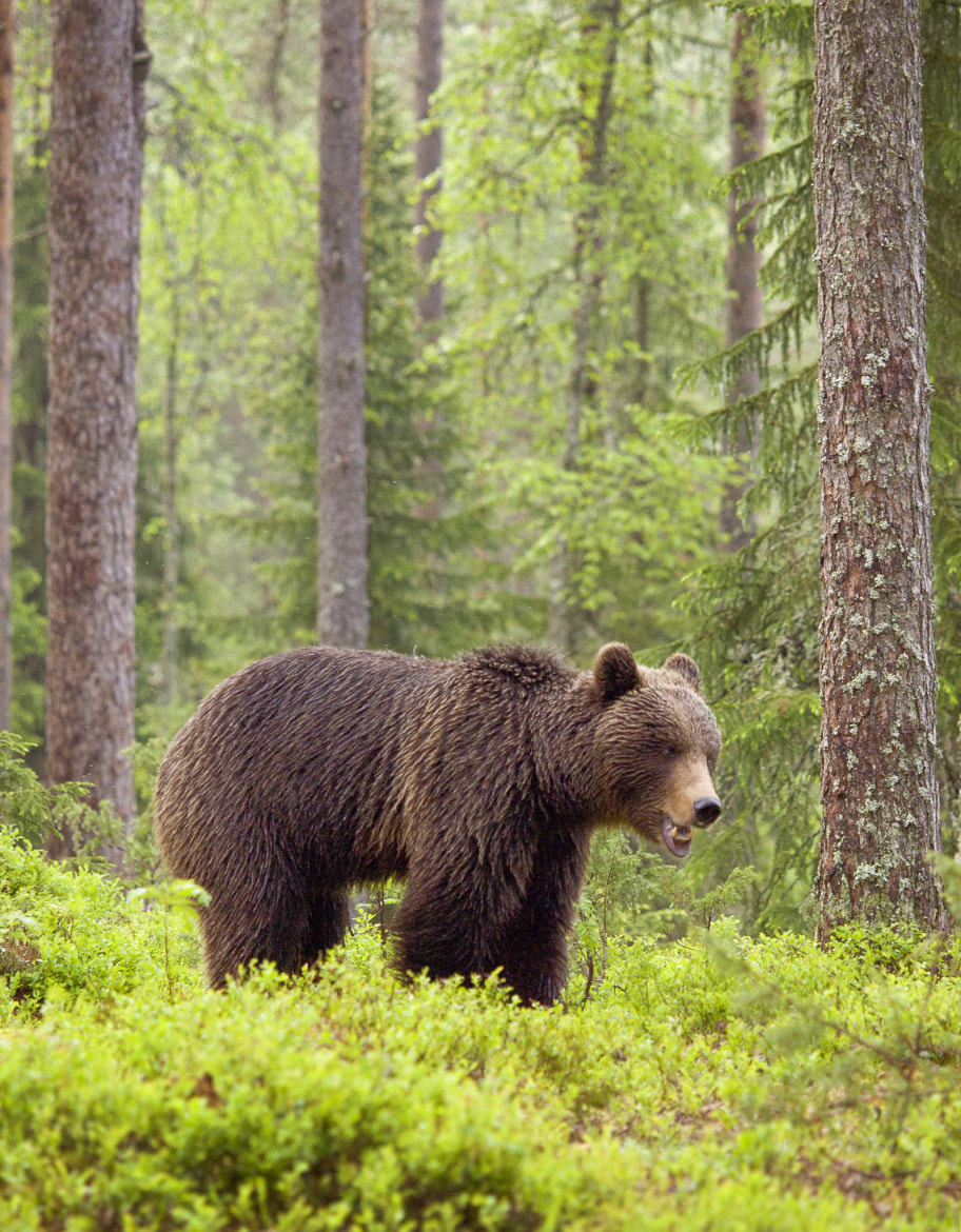Photograph Eurasian brown bear in Finland by Nico van Gelder on 500px