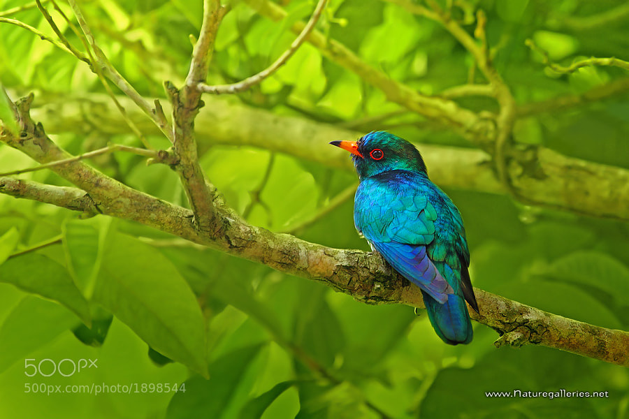 Photograph Asian Emerald Cuckoo by Sasi - smit on 500px